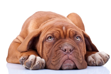 tired and cute dogue bordeaux puppy, looking at the camera photo