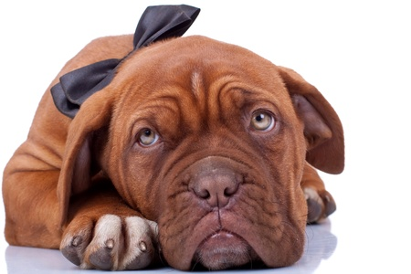 cloaseup of a french mastiff (dogue bordeaux) with a robbon on its neck Stock Photo
