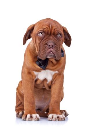 cute french mastiff (dogue bordeaux) wearing a neckbow sitting on white background photo