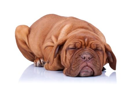 french mastiff: sleeping Puppy of Dogue de Bordeaux (French mastiff). Isolated on white background