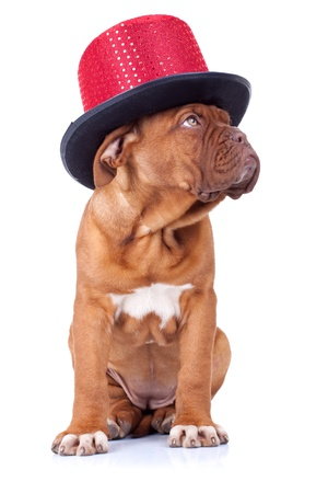 dogue: Puppy of Dogue de Bordeaux wearing a red show hat looking to a side