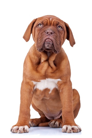 mastiff: picture of a seated french mastiff puppy(dogue bordeaux) on white