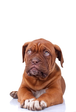 dogue de bordeaux: Puppy of Dogue de Bordeaux (French mastiff) looking at something while sitting. Isolated on white background