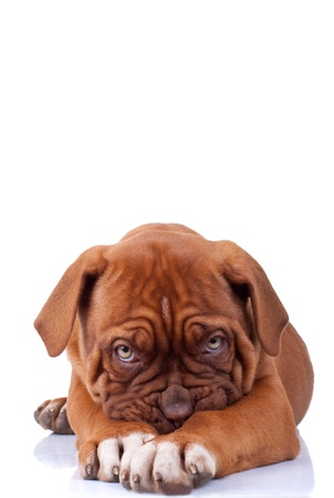 Puppy of Dogue de Bordeaux (French mastiff) looking very shy, on white background photo