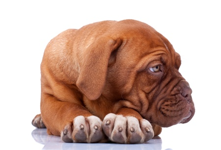 seated Puppy of Dogue de Bordeaux (French mastiff) looking at something to its side photo