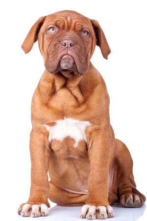 seated Puppy of Dogue de Bordeaux (French mastiff). Isolated on white background  photo
