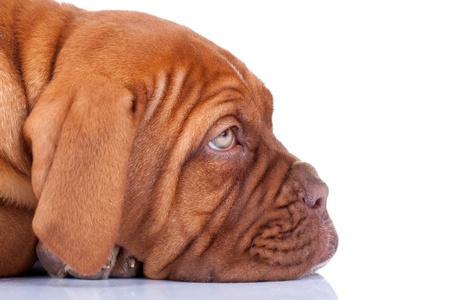 face of a sleepy Puppy of Dogue de Bordeaux (French mastiff). Isolated on white background  Stock Photo - 9248551