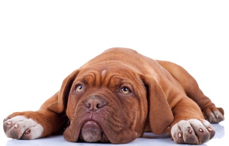 cute french mastiff (dogue bordeaux) loiking a little sad and tired photo
