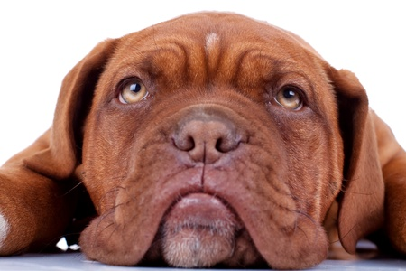 closeup picture of a french mastiffs sad eyes  photo