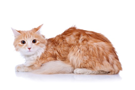 front view: side view of a red and white cat looking at the camera