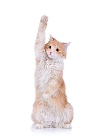 cute red and white cat waving to the camera, over white photo