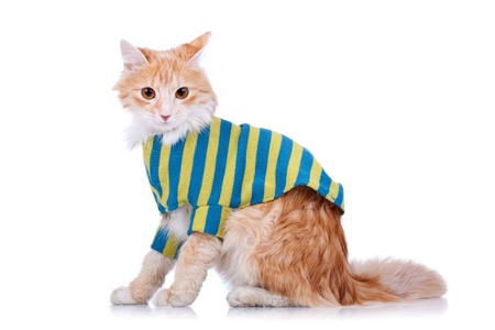 side view of a red and white cat wearing clothes looking at the camera Stock Photo - 9254863