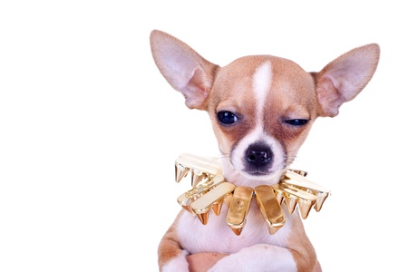 cluseup picture of a chihuahua puppy with golden studded collar looking very suspicious photo