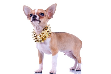 Chihuahua puppy with golden studded collar looking up isolated on white background  photo