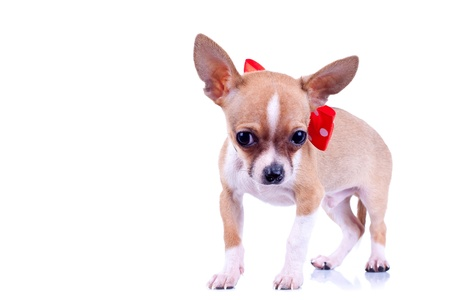 chihuahua 3 months old: Chihuahua wearing bowtie, 3 months old, in front of white background