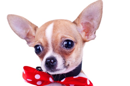 puppy Chihuahua wearing a red ribbon, crying over white background Stock Photo
