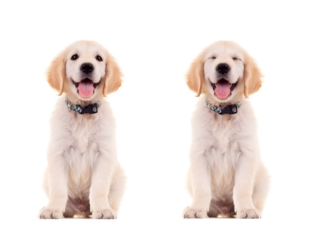 two emotional poses of a cute panting golden retriever puppy photo