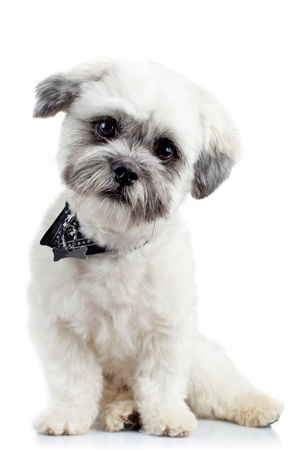 havanese: curious small bichon havanese puppy looking at the camera