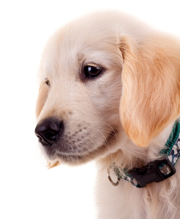 picture of a sad little golden retriever puppy over white Stock Photo - 9526074