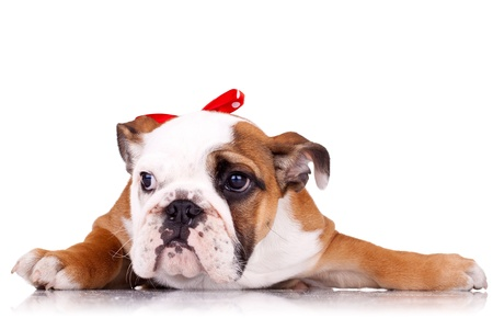 cute english bulldog puppy lying down on a white background and wearing a red neck bow photo