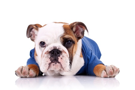 english bulldog puppy wearing nice clothes looking at the camera photo