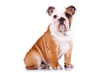 english bulldog puppy: curious english bulldog puppy sitting on a white background