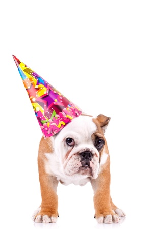 party hat: standing english bulldog puppy with a party hat over white