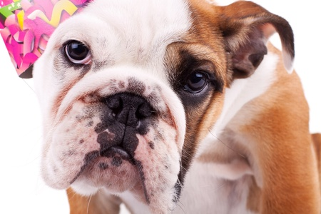 english bulldog puppy: closeup picture of a cute english bulldog puppy with party hat Stock Photo