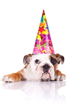 puppy dog: cute english bulldog puppy wearing a birthday hat over white