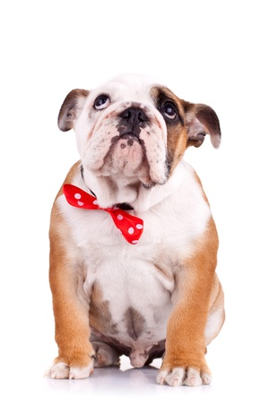 sad english bulldog puppy wearing red bow and looking up photo