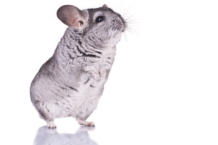 hind: curious Young Chinchilla standing on its hind legs, over white Stock Photo