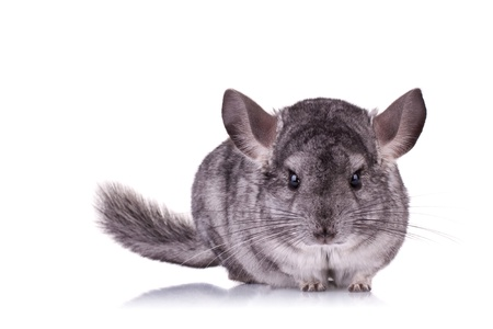 chinchilla: alert Young Chinchilla looking at the camera on a white background Stock Photo