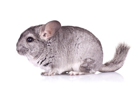 side view of a cute Chinchilla on white background