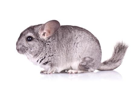 chinchilla: side view of a cute Chinchilla on white background