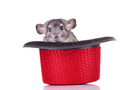 Young Chinchilla in a red show hat over white photo