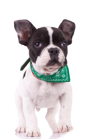perro boxer: curioso bulldog francés camina hacia la cámara, sobre blanco