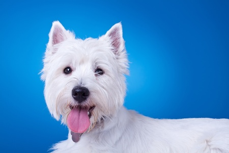 panting: picture of a panting westie , standing against blue background  Stock Photo
