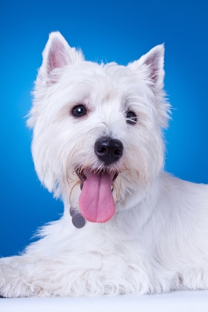 closeup picture of a panting westie , standing against blue background