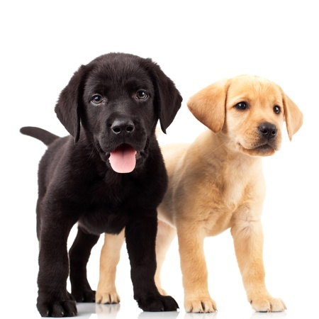 two cute labrador puppies - one with mouth open and one looking away