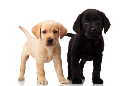 yellow yellow lab: two cute labrador puppies - both very curious , standing and looking at the camera