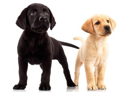 ambos: dos cachorros labrador lindo - muy curiosos, permanentes y buscando hasta en algo Foto de archivo