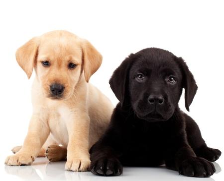 two cute labrador puppies - both very sad , looking at the camera