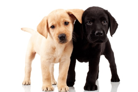 two cute labrador puppies - both very curious , standing and looking at something photo