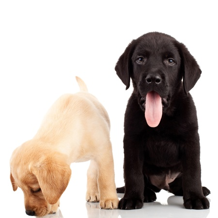 two cute labrador puppies - one sticking out its tongue and one sniffing for something photo