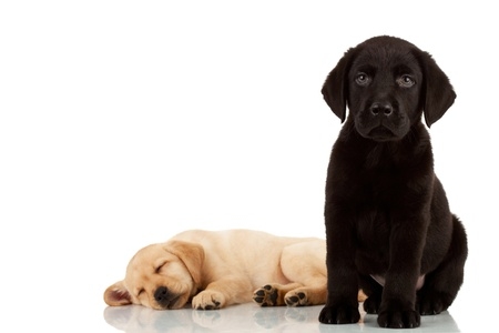 labrador puppy: two cute labrador puppies - one looking at the camera and one sleeping in the back