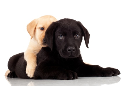 two animals: two cute labrador puppies - playing together on white background