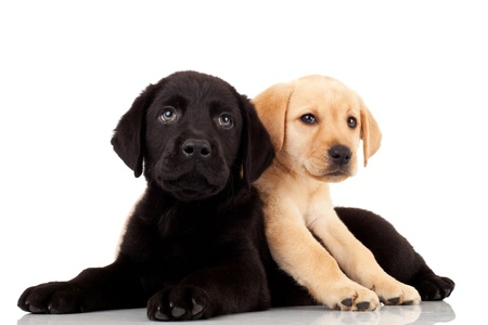 two cute labrador puppies - playing and looking at something photo
