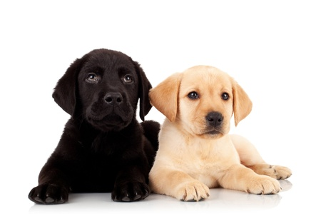 two cute labrador puppies - looking up to something over white Фото со стока