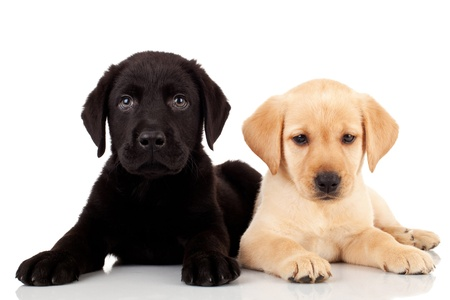 two cute labrador puppies - both very curious and looking at the camera Stock Photo