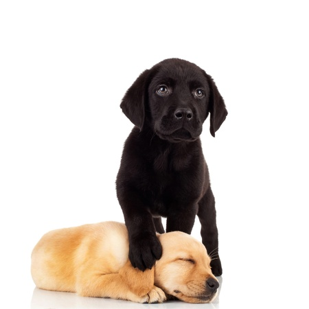 cute labrador puppies - black labrador stepping on its little sisters head while sleeping Stock Photo